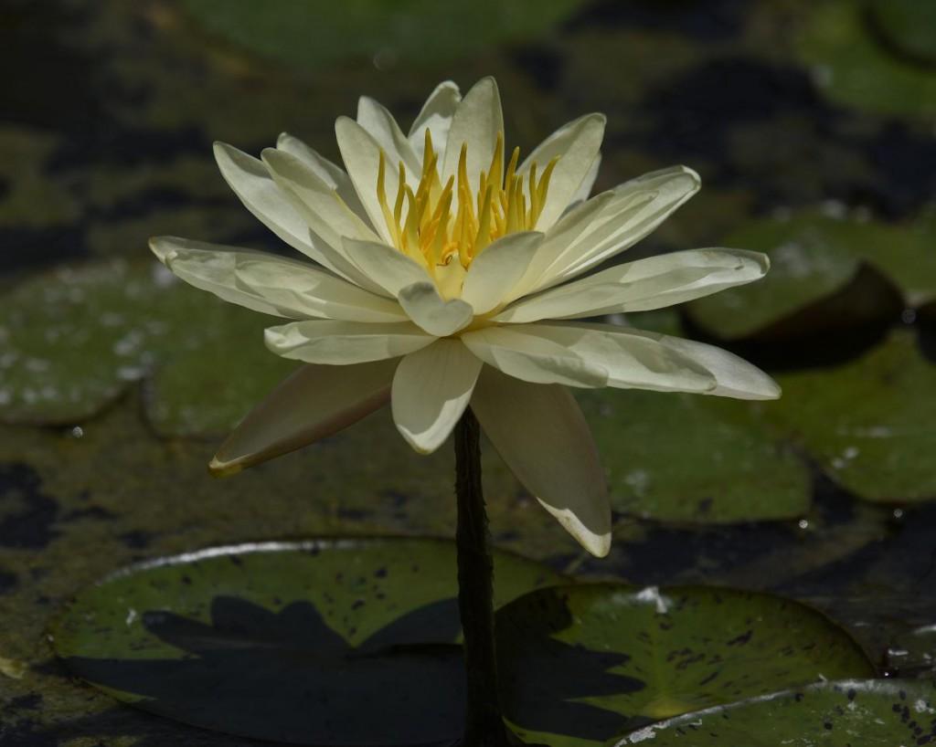 Flor de Loto 9